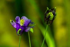Es gibt noch unbekannte Arten in unseren Wäldern! Auch auf Anfrage beim Botanischen Garten konnte ich nichts über diese Akelei, aufgenommen bei Rehetobel, herausfinden. Aussergewöhnlich ist die einzelne, aufrechte Blüte. (Bild: Matthias Rozinek)