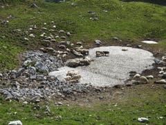 """Auch Schafe lieben es kühl. """"Eisbad"""" auf der Roslenalp. (Bild: Peter Roth)"""