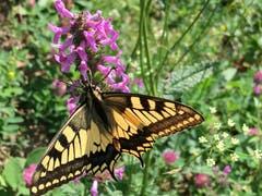 Ideales Wetter für Schmetterlinge. (Bild: Toni Sieber)