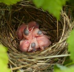 Nest einer Mönchsgrasmücke in Trogen. (Bild: Hans Aeschlimann)