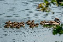 Grosse Kinderschar. Ente mit vielen Jungen im Weiher des Naturschutzgebiets Eselschwanz, St.Margrethen (Bild: Georg Vogelsanger)