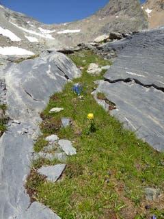 Wie diese «Ankäpollä» hier hinauf kam, ist ein Rätsel oder ein kleines Wunder der Natur! Das Bild wurde auf rund 2000 Meter über Meer beim Einstieg zur kleinen Windgälle aufgenommen. (Bild: Gustav Tresch, 23. Juli 2019)