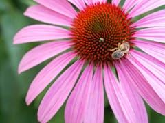 Ein Käfer und eine Biene naschen an einer Blüte in Uttwil. (Bild: Dani Rüede)
