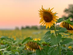 Sonnenblumen in Alterswilen. (Bild: Reto Schubnell)