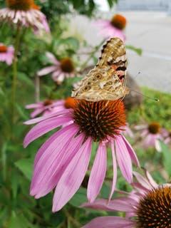 Ein Schmetterling in Kreuzlingen. (Bild: Hildi Adam)
