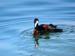 Das Blässhuhn mit Nachwuchs - junge Blässhühner können gleich von Beginn an schwimmen. (Bild: Doris Sieber)