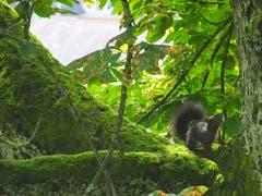 Junges Eichhörnchen auf Klettertour nach oben. (Bild: Doris Sieber)
