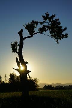 Ein speziell geformter Baum auf dem Bodenberg in Zell im abendlichen Sonnenlicht. (Bild, Isidor Rösch, 2. Juli 2019)
