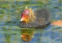 Auf einem kleinen Tümpel schwimmt dieses junge Blässhuhn in seiner auffälligen Zeichnung. Noch wird es von den Eltern gefüttert. (Bild: Toni Bürgin)