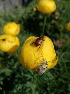 Käfertreffen im Alpstein. (Bild: Rahel Nett)