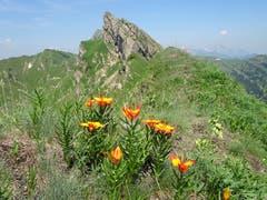 Feuerlilien auf der Appenzeller Alp Oberbütz, mit den Bergen Schäfler und Oberchäseren im Hintergrund – ganz hinten ist noch der Säntis zu sehen. (Bild: Walter von Holzen, 1. Juli 2019)