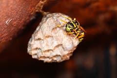 Eine fleissige Wespe baut ihr Nest. (Bild: Petra Jung, Hämikon, 7. Juli 2019)