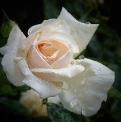 Rose mit Regentropfen. (Bild: Stephan Lendi)