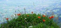 Wild wachsende Feuerlilien an einem geheimen Plätzchen am Rande des Abgrunds zwischen Staubern und Saxerlücke. (Bild: Peter Arnheiter)
