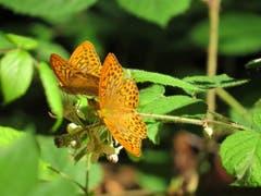 Auf einem Waldspaziergang entdeckte ich diese zwei hübschen Kaisermantel-Schmetterlinge. (Bild: Martina Melber)