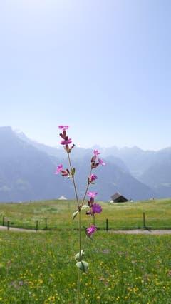 Diese violette Blume setzte Nico gekonnt in Szene. (Bild: Nico Infanger, Eggberge, 26. Juni 2019)