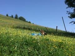 Nico Infanger legt sich für die Bilder auf die Wiese – und ins Zeug, wie die folgenden Bilder zeigen. (Bild: Carmen Epp, Eggberge, 26. Juni 2019)