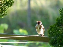 Guten Abend! Der Distelfink auf dem Balkongeländer begrüsst uns. (Bild: Josef Lustenberger, Wolhusen, 6. Juli 2019)