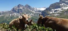 Dies Bild wurde im Isenthal auf der Alp Oberalp gemacht. Das Jungvieh geniesst die schönen Tage auf der Alp. Im Hintergrund sieht man den Urirotstock rechts und Schlieren links. (Bild: Armin Zurfluh, 30. Juni 2019)