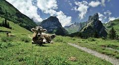 Wiederkauende Rinder bei Rainhütten. (Bild: Thomas Ammann)