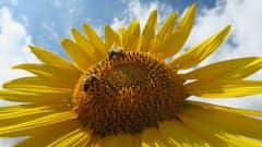 Eine Sonnenblume mit Bienen bei Romanshorn. (Bild: Fredy Zünd)