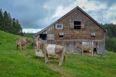 Es ist Abend, die Kühe trotten langsam Richtung Stall.