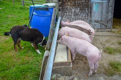 Die fünf Schweine bekommen die Schotte vom Käsen in den Futtertrog.