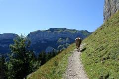 Wanderwetter auf der Ebenalp. Eine Kuh auf dem Weg zum Äscher. (Bild: Doris Sieber)