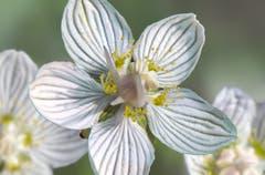 Die Tröpfchen in den Blüten des Sumpf-Herzblatts sind kein Nektar, sondern nur Wasser. (Bild: Wolfgang Reisser)