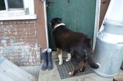 Hund Bärli darf nicht in die Küche, wenn drinnen gekäst wird.