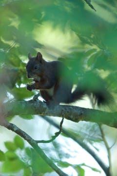 Das Eichhörnchen verzehrt die Haselnuss. (Bild: Hans Aeschlimann)