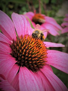 """Dieses fleissige Bienchen vergnügt sich im """"Blütenstaub-Bad"""" ! Aufgenommen in Luzern. (Bild: Margrith Imhof-Röthlin, Luzern, 13. August 2019)"""