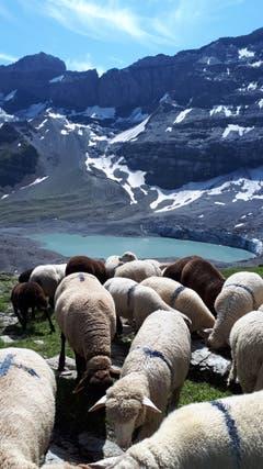 Schafe beim weiden oberhalb des Gletscherseeli. (Bild: Doris Bissig, Klausenpass Uri, 11. August 2019)