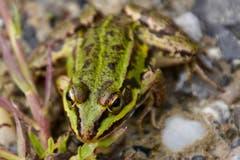 Grosse Augen macht der Frosch....(Bild: Ruedi Dörig)