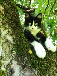Dino auf dem Apfelbaum. (Bild: Marlene Stäheli)
