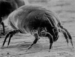 Hausstaub-Milbe: 0,1 – 0,5 mm grosses Spinnentier, ernährt sich von Hautschuppen, lebt häufig im Bett. (Bild: Wikipedia)