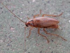 Küchenschabe: 13 – 16 mm grosses Insekt, lebt in Küchen und Vorräten, ist Allesfresser, der Kot ist ein Gesundheitsrisiko. (Bild: Wikipedia)