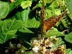 Schmetterling Kaisermantel. (Bild: Doris Sieber)