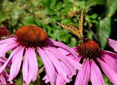 Kaisermantel Schmetterling auf einer Sonnenhut - Blüte (Echinacea). (Bild: Doris Sieber)