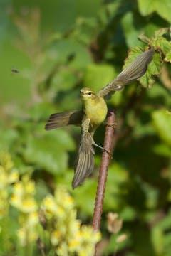 Der Fitis mit einer Fliege im Visier. (Bild: Hans Aeschlimann)