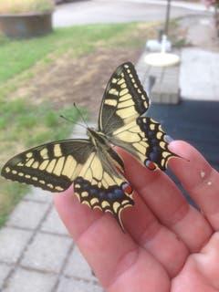 Von der Raupe bis zum Schmetterling: Der geschlüpfte Schwalbenschwanz. (Bild: Margrit Ledergerber)