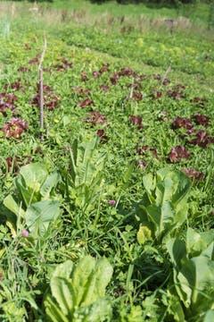Unterhalb von kleinen Weihern ist der Boden feucht, so dass Salate ohne künstliche Bewässerung spriessen. Düngemittel wie Schafswolle versorgen die Pflanzen mit Nährstoffen.
