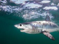 Mehrere Haiarten wie der Makohai sollen neu überwacht werden, damit ihr Überleben durch kommerzielle Nutzung nicht gefährdet wird. (Bild: KEYSTONE/AP The Pew Charitable Trusts/MATTHEW D POTENSKI)