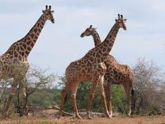 Neu wird der internationale Handel mit Giraffen, sowie ihrem Fleisch, Leder und Jagdtrophäen reguliert. (Bild: KEYSTONE/AP/KEVIN ANDERSON)