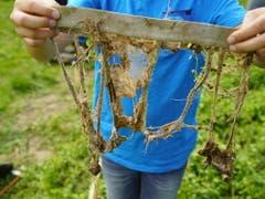 Im Juni 2019 vergruben Familien bei der Forschungsanstalt Agroscope Unterhosen im Boden. Nun kommen die Unterhosen wieder ans Tageslicht und machen die sonst unsichtbaren Abbauprozesse im Erdreich sichtbar. (Bild: Keystone/ADRIAN REUSSER)