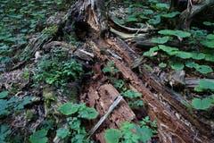 Die Gewächse im wilden Tal sind noch etwas grüner als andernorts. Viel Totholz liegt herum.