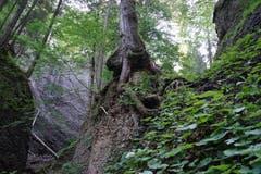 Der Wald ist rau. Die Bäume, deren Wurzeln meterhohe Flanken umschliessen, wirken sonderbar und mystisch.