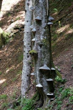 Pilze an einem Baum.