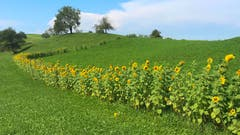Ein blumige Zaun. (Bild: Peter Bumbacher, 29. August 2019, Menzingen)