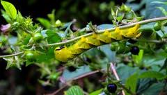 Die Raupe von Totenkopfschwärmer frisst sich von Blätter der Tollkirsche satt. (Bild: André Egli, 23. Augsut 2019)